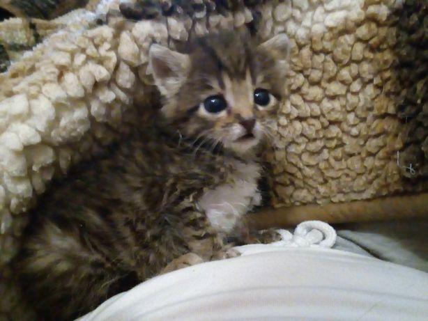 Котята, 1 месяц, мальчик и девочка,  пристраиваются в добрые руки