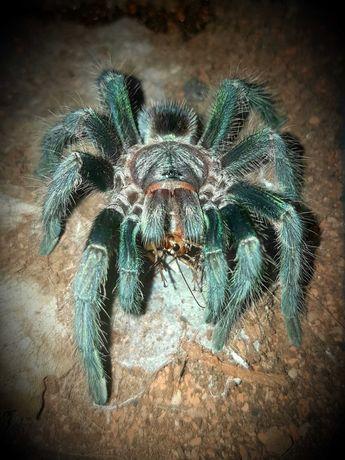 Паук птицеед Phormictopus sp Green отправка по Украине