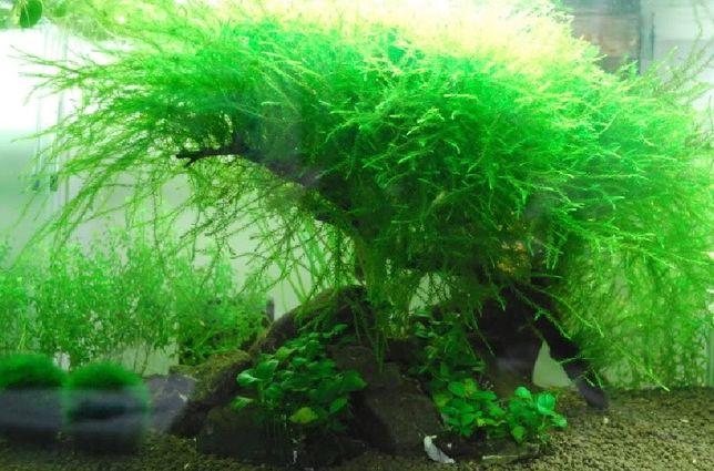 Mech Willow Moss