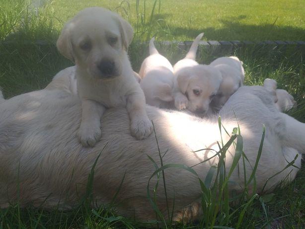 Labrador szczeniaki  do odbioru