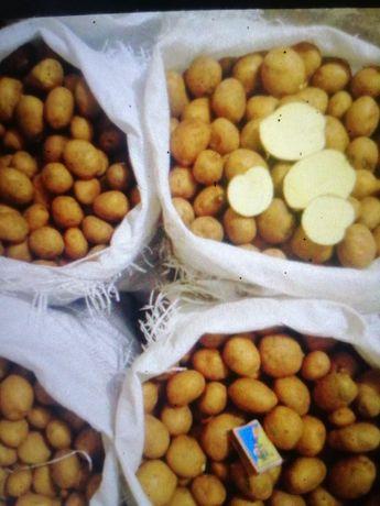 Картопля насінева
