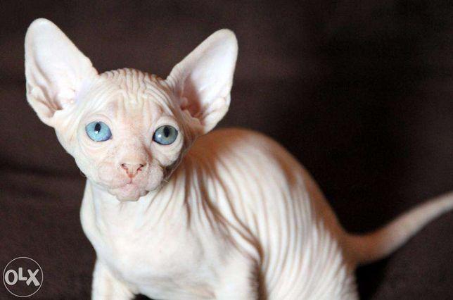 Разноглазая девочка,черная,редовый,белые...котята