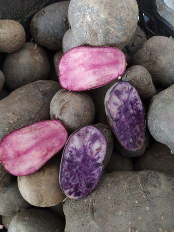 Продам цветной картофель
