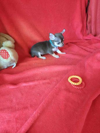 Chihuahua de Bolso Criadora Registada
