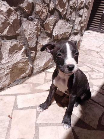Americam pitbull terrier