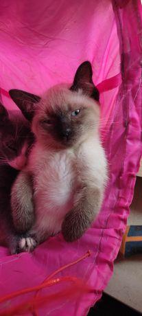 Gatinha siamês para adopção