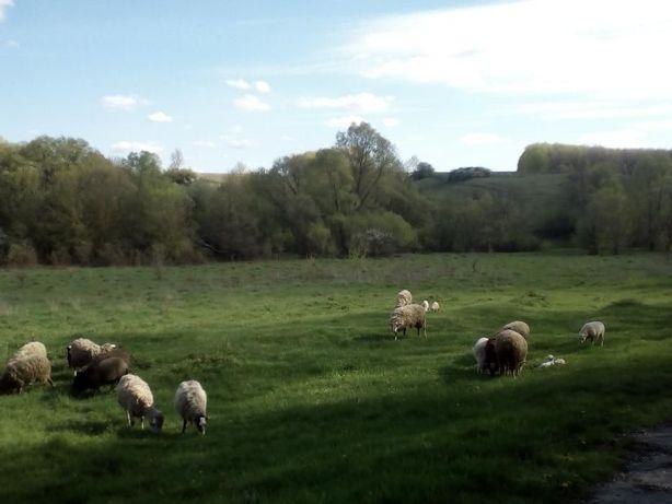 Продам овець живою вагою