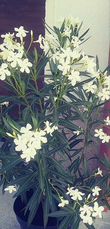 Oleander- ukorzenione sadzonki ok 20 cm mix kolor