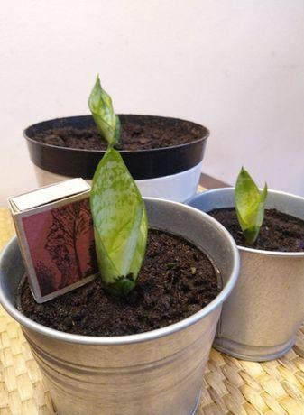 Sansewieria gwinejska,wężownica.Aloes.Roślina domowa.Kwiatydoniczkowe