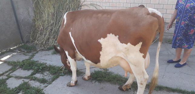 Продам породисту корову