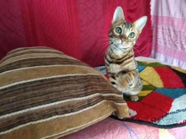 Бенгальские котята цены разные