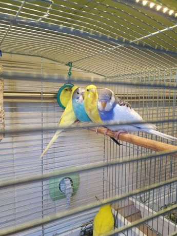 Хвилясті папужки, папуга, папужка, попугай, папугай, папуг
