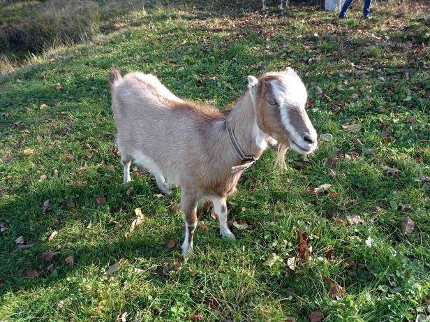 Продам молоду козу