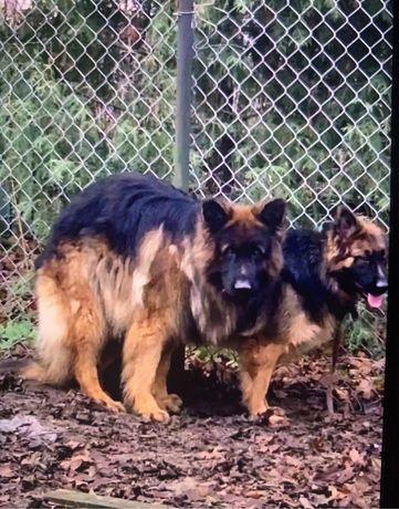 Owczarek niemiecki pies dlugowlosy