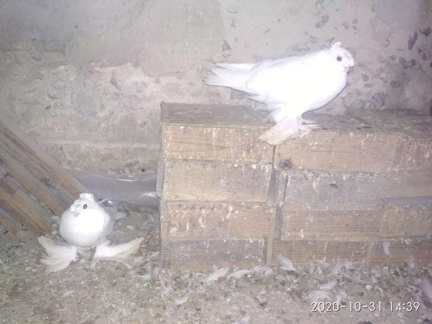 Молода пара білих двухчубих узбекських голубів