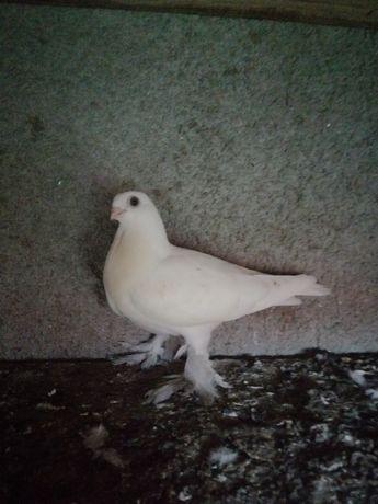 Młode gołębie ozdobne