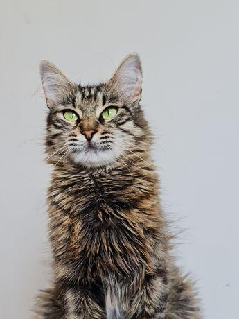 Сибирская кошка красотка Мэги