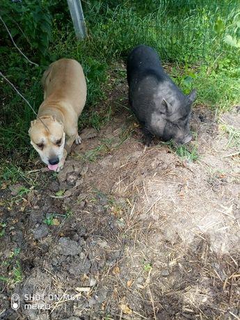 вьетнамские поросята вьетнамские свиньи Вьетнамские свинки и кабанчики