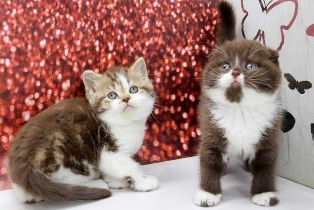 Милейшие чудеснейшие породистые котятки