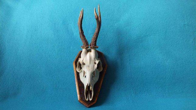 Trofeum poroże jelenia z czaszką nr4 Rogi dł. 20cm
