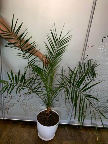Финиковая Пальма.Большие.Огромные вазоны.