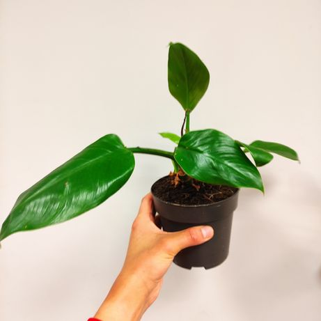 Filodendron Philodendron Imperial Green