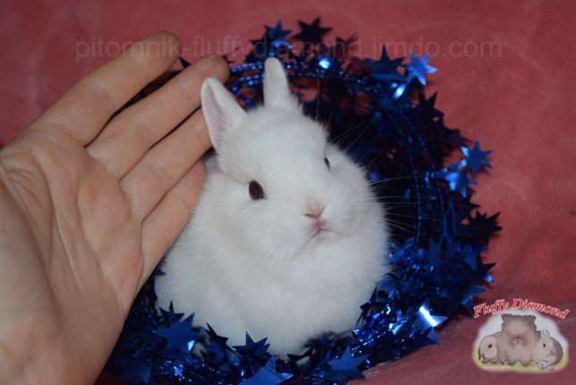 Гермелины-Самые маленькие из карликовых крольчат