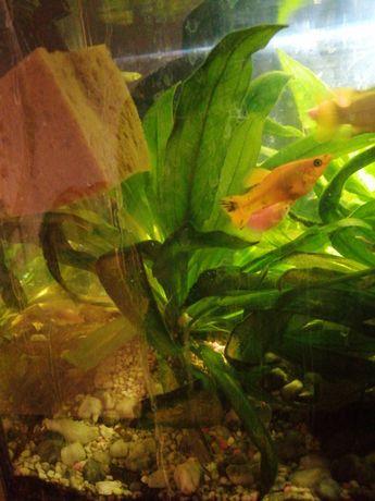 Żabienica roślina akwariowa