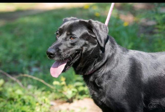 Dolly- cachorra cruzada de labrador para adoção