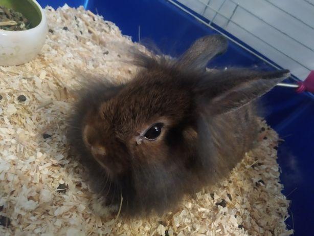 Sprzedam królika karzełka wraz z klatką