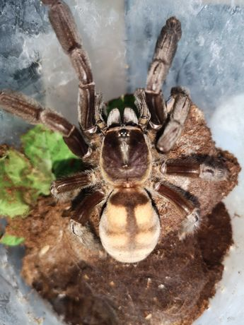 P. irminia - dorosła SAMICA 6DC