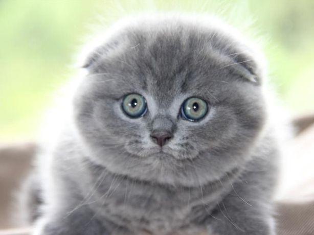 мальчик и девочка Одесса клубные шотландские котята плюшевый вислоушка