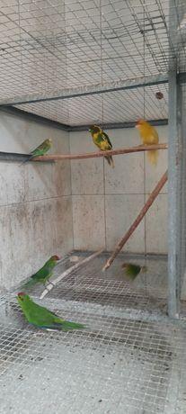 Продам какариков новозеландский прыгающий попугайчик
