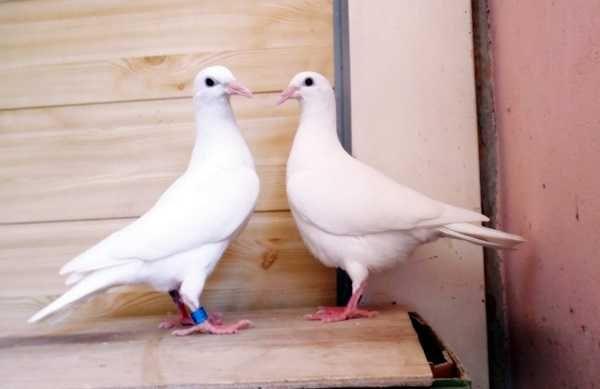 Gołębie pocztowe! Kapitalna Para młodych czysto białych! Karty!Klasa