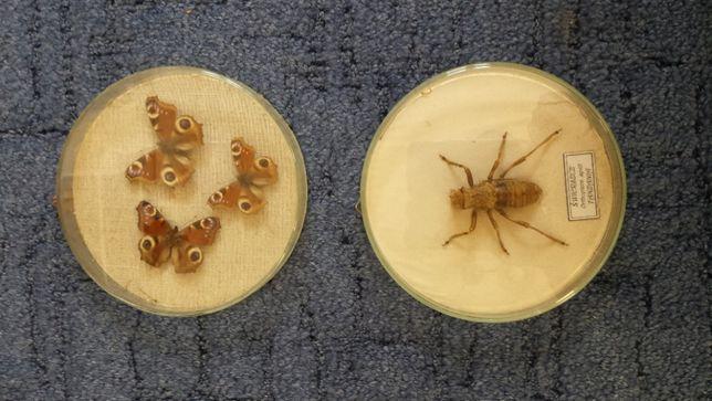 owady świerszcz motyl