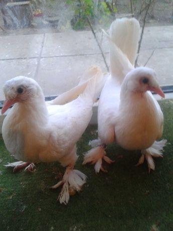 Бойные голуби   турецкая  Такла