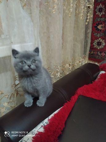 Котята породы скоттиш-фолд и скоттиш-страйт!