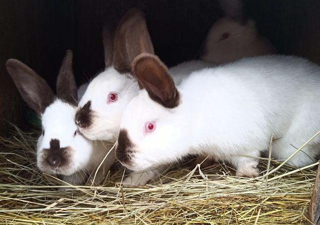 Królik króliki kalifornijski i inne