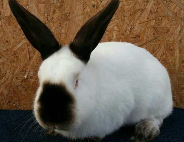 Sprzedam króliki kalifornijskie do dalszej hodowli