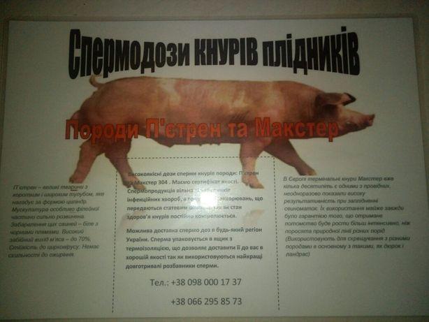 Штучне запліднення свиней, сперма хряка , спермодози ,