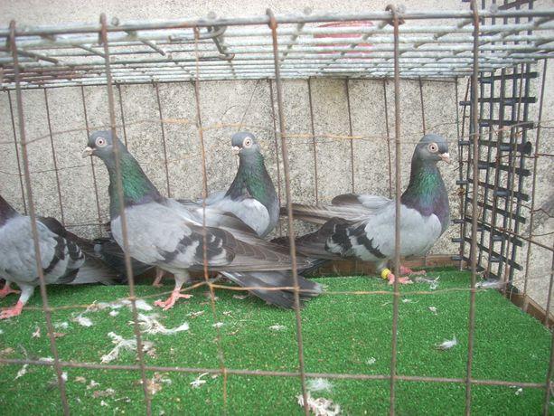 gołębie zamojskie siwe samiczki