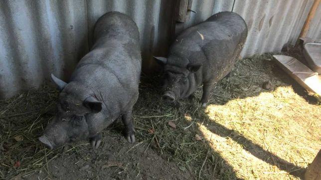 Продам поросных свинок корейской породы