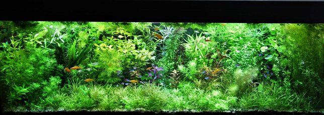 Rośliny akwariowe - 30 gatunków w zestawach na 1, 2 i 3 plan - wysyłka
