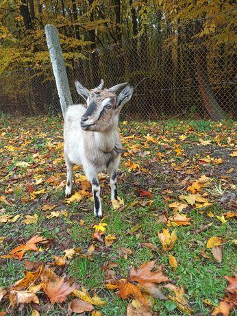 Продається кітна коза первістка і 2-х річна кітна коза, село Прошова