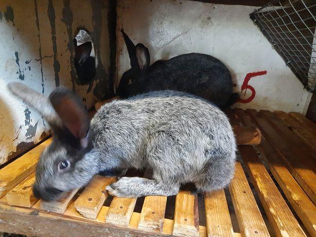 Кролики срібляки