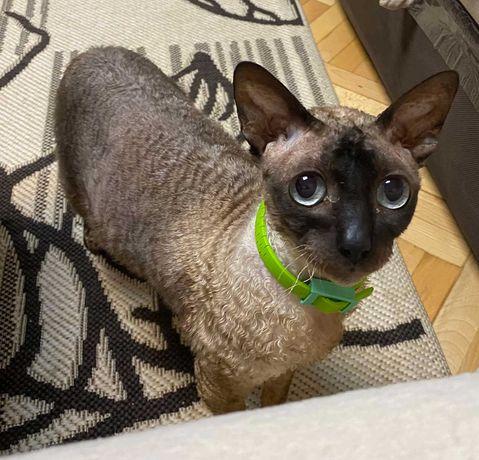 Кошечка Тася порода Корниш-рекс (7 лет)добрая, нежная.