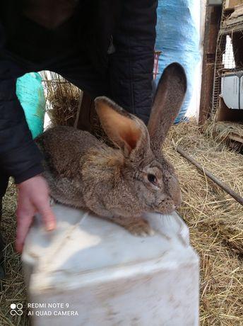 Sprzedam króliki.