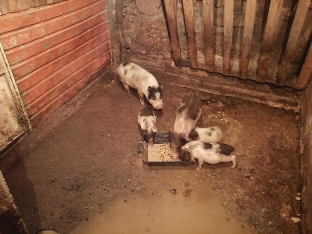Porcos Vietname adultos e crias