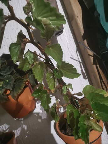 Begonia hirtella planta