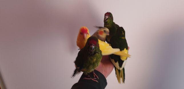 Papugi nimfy ręcznie karmione oswojone